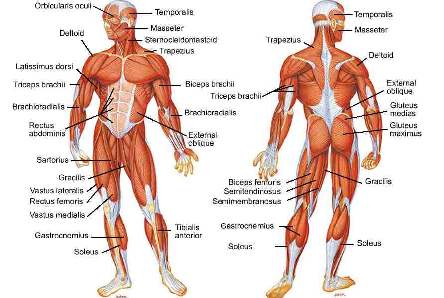muscles - year 10 science, Muscles